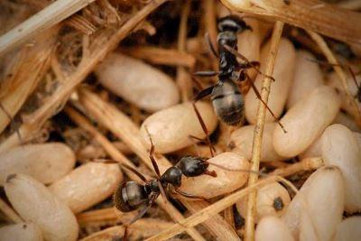 Яйца муравьев
